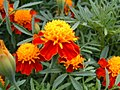 Orange flower (36615694).jpg