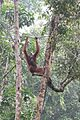 Orangutan rope workout (26059997083).jpg