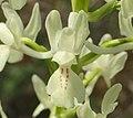Orchis provincialis flower.jpg