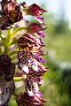Orchis purpurea (14058259811).jpg