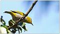 Oriental White-eye (Zosterops palpebrosus) by Dharani Prakash.jpg
