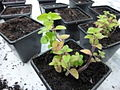 Origanum vulgare young plant 3.JPG