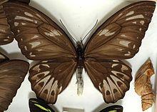 Ornithoptera Priamus Wikipedia