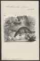 Ornithorhynchus fuscus - 1700-1880 - Print - Iconographia Zoologica - Special Collections University of Amsterdam - UBA01 IZ20300176.tif