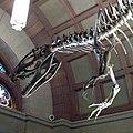 Orton Hall Cryolophosaurus 2.jpg
