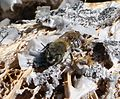 Osmia sp. probably . Megachilidae - Flickr - gailhampshire.jpg