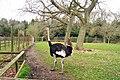 Ostrich at Birdworld - geograph.org.uk - 1202438.jpg