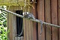 Ouistiti à toupets blancs (Zoo-Amiens).JPG