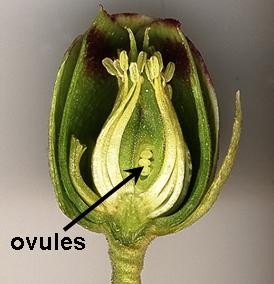 Ovules in flower