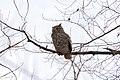 Owl (60810920).jpeg