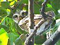 Owl national.jpg