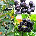 Owoce Aronia.jpg