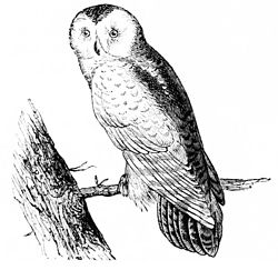 PSM V11 D164 The snowy owl.jpg
