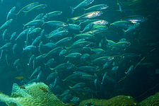 Pacific Jack Mackerel School, 2007.jpg