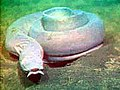 Pacific hagfish Myxine.jpg