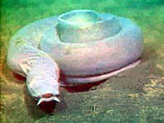 Chordate - Craniate: Hagfish