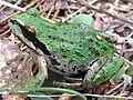 Pacific treefrog-Siskiyou.jpg