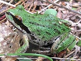 Animal Tracks  Pacific Treefrog