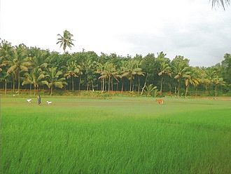 Agriculture in ancient Tamil country - Paddy fields in present-day Kerala