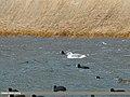 Pallas's Gull (Larus ichthyaetus) & Eurasian Coot (Fulica atra) (32506813690).jpg