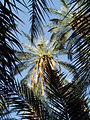 Palm tree in Tozeur, Tunisia.JPG