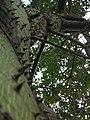 Palo Borracho Trees of Buenos Aires (482292280).jpg