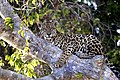 Pantanal jaguar JF1.jpg