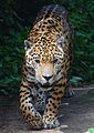 Panthera onca - Tiergarten Schönbrunn 2.jpg