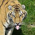 Panthera tigris altaica - Zoo Sauvage de Saint-Félicien - 2016-07-19 (1).jpg
