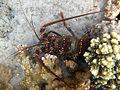 Panulirus penicillatus Réunion.jpg