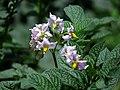 Papa (Solanum tuberosum) - Flickr - Alejandro Bayer.jpg
