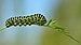 Papilio machaon - Daucus carota - Keila.jpg