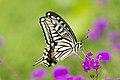 Papilio xuthus op de bloem in Showa Kinen Park, -10 juni 2012 a.jpg