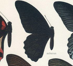 PapilioacheronGrose-Smith, 1877.jpg