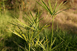 Papyrus plant growing in a garden, Australia