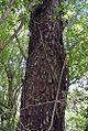 Parapiptadenia rigida (17921483674).jpg