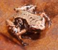 Paratype of Paedophryne swiftorum.png