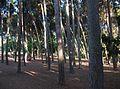 Parc de Sant Vicent de Llíria, pins.jpg
