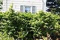 Parrotia persica 2zz.jpg