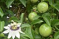 Passion Fruit and Flower.jpg