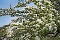 Pear tree in bloom by Visby City Wall, Gotland 1.jpg