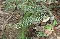 Pellaea rotundifolia kz10.jpg