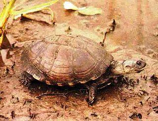 East African black mud turtle species of reptile
