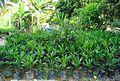 Pembibitan kelapa sawit (26).JPG