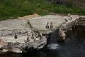 Penguins at Chester Zoo 2.jpg