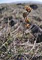 Penstemon gairdneri var. gairdneri seed pods from previous season.jpg