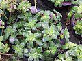 Peperomia obtusifolia.jpg