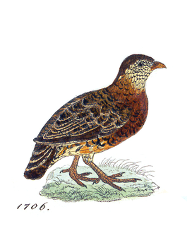 Chestnut-necklaced partridge Species of bird
