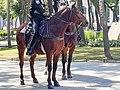 Perissodactyla - Equus caballus - 57.jpg