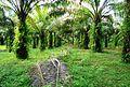 Perkebunan kelapa sawit milik rakyat (3).JPG